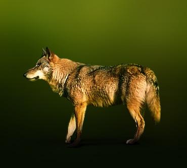 Дикие животные Iberijskij_volk