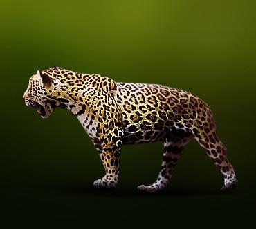 Ягуар (Panthera onca) — Животные / Мир животных.ру