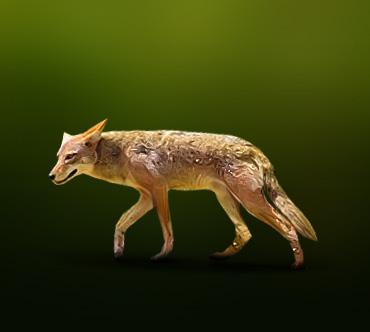 Юго-восточный койот