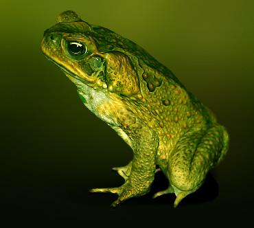 Жаба (Bufonidae) — Животные / Мир животных.