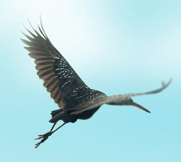 Птица среднего размера, единственный представитель