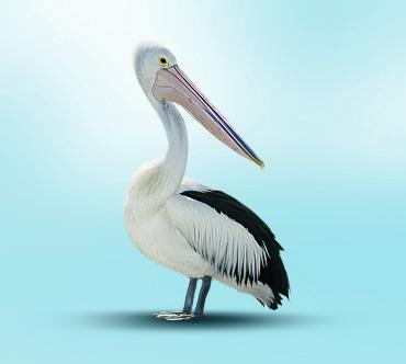 Австралийский очковый пеликан (Pelecanus conspicillatus) — Птицы ...