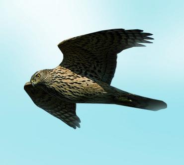 Тетеревятники в основном на птиц