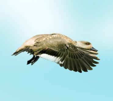 http://www.theanimalworld.ru/img/encycl/birds/big/khokhlataja_utka.jpg