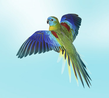 Животный мир. Птицы Lazurnyj_travjanoj_popugajchik