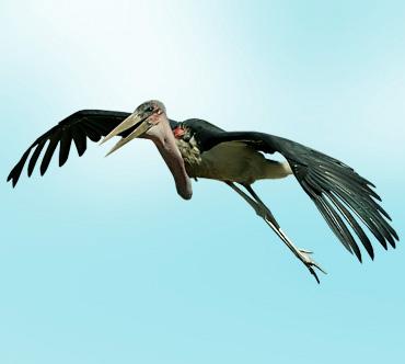 марабу фото птицы