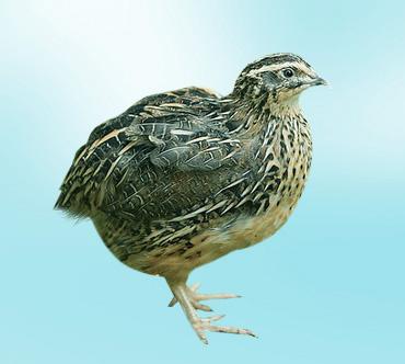 фото перепелка птица