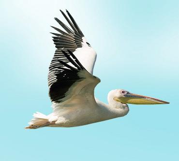Розовый пеликан (Pelecanus onocrotalus) — Птицы / Мир животных.