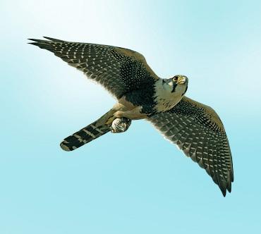 Это фото вы можете найти в рубрике: хищные птицы ленобласти фото.