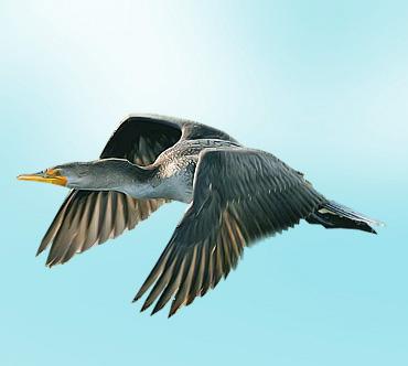 Глухарь Дикие птицы.  Виды диких птиц, фото и описание.