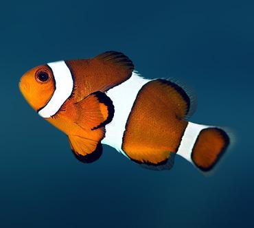 Анемоновая рыба (Amphiprion ocellaris) — Рыбы ...: www.theanimalworld.ru/fish/anemonovaja_ryba.html