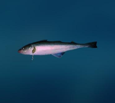 Ловить навагу в Унской губе Белого моря теперь нельзя