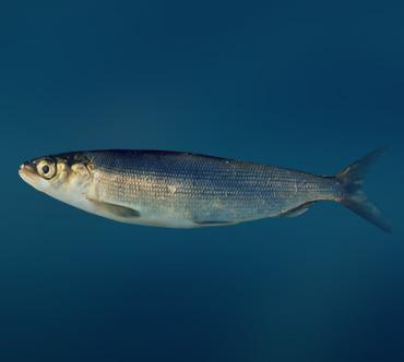 Подведены итоги работы Штаба по охране нерестовых видов рыб при Ангаро-Байкальском теруправлении
